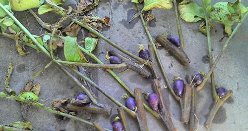 Выращивание картофеля из черенков