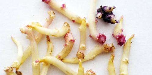 Выращивание картофеля из ростков