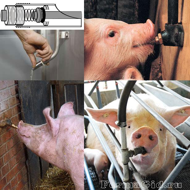 Свиньи пьют из ниппельной (сосковой) поилки