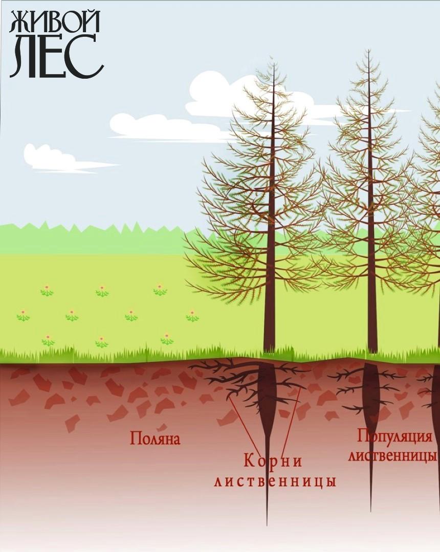 Раскопки корней в насаждении лиственницы показали: к растениям своей популяции она направляла в 2 раза меньшее количество корней, чем в сторону поляны.