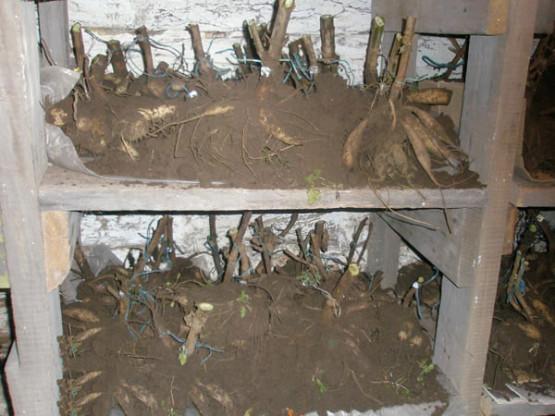 Георгины хранение клубней зимой