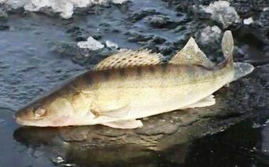 Средняя Волга глазами аборигена Архив Рыбы средней Волги