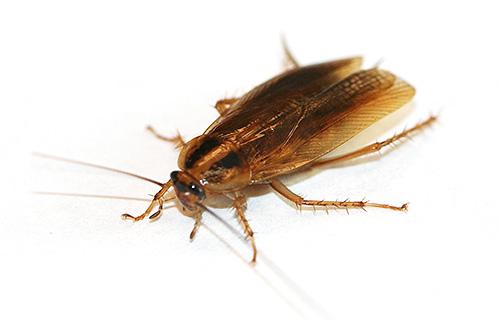 Борная кислота весьма токсична для тараканов