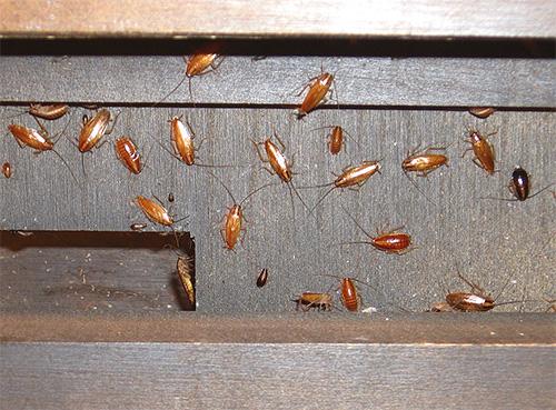 Борную кислоту нужно использовать в местах скопления насекомых