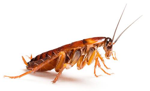 Гель Дохлокс содержит вещества, которые привлекают тараканов