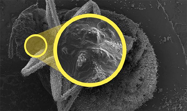 Благодаря абразивным свойствам, диатомит повреждает внешние покровы насекомых, что в итоге приводит к быстрому их обезвоживанию.