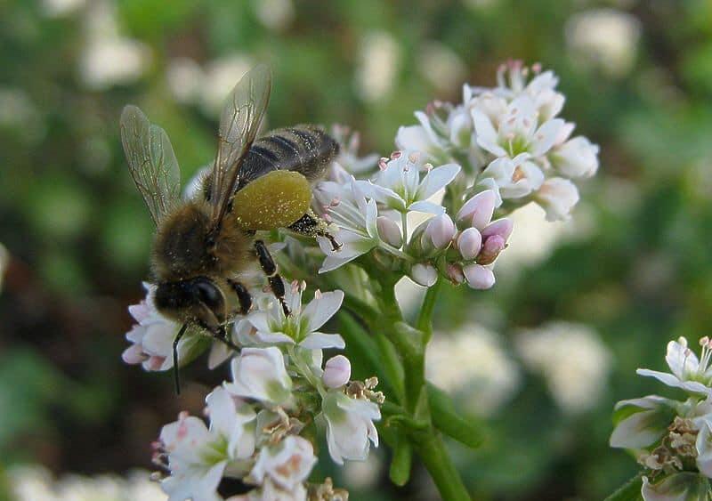 Пчела собирает пыльцу с цветка гречки
