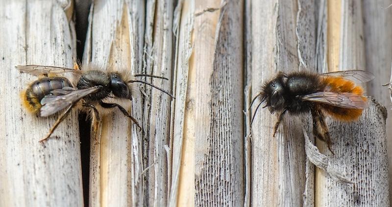 Пчелы осмии, самец - слева, самка - справа