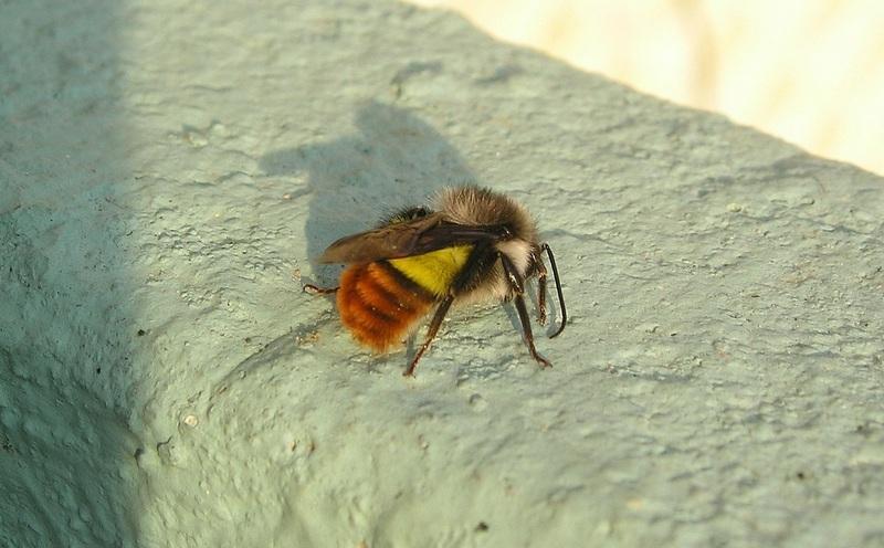 Пчела осмии
