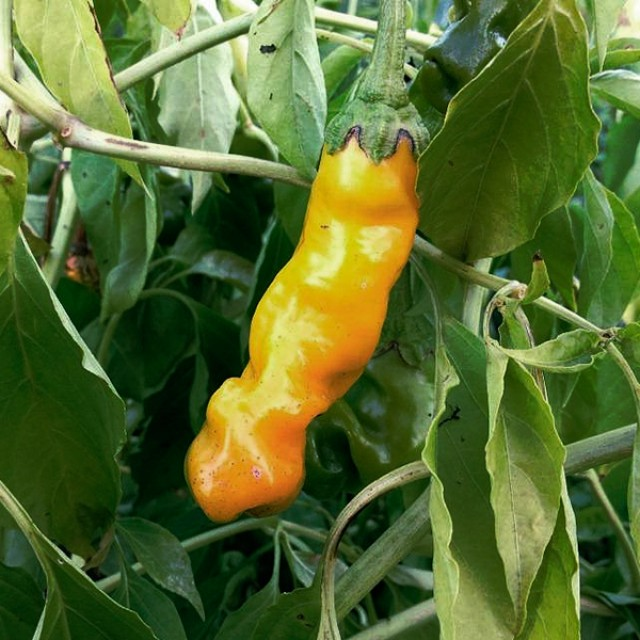 перец палец петра выращивание