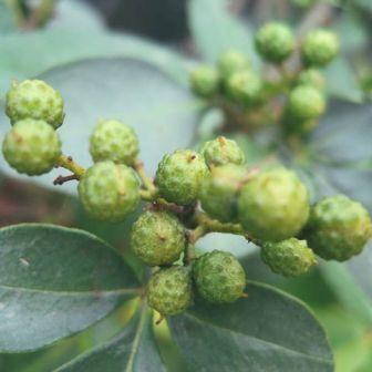 Зантоксилум (Zаnthoxylum clava-herculis/ Zаnthoxylum americanum)