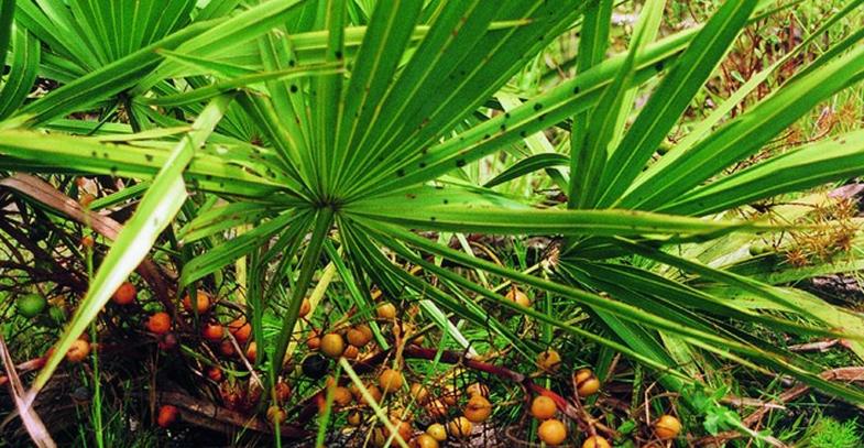 Плоды карликовой пальмы