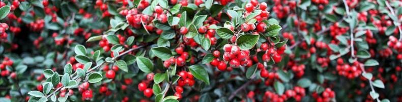 Плоды кизила богаты витаминами Е и С
