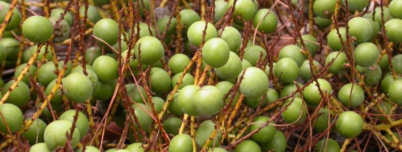 Плоды пальмы Сереноа