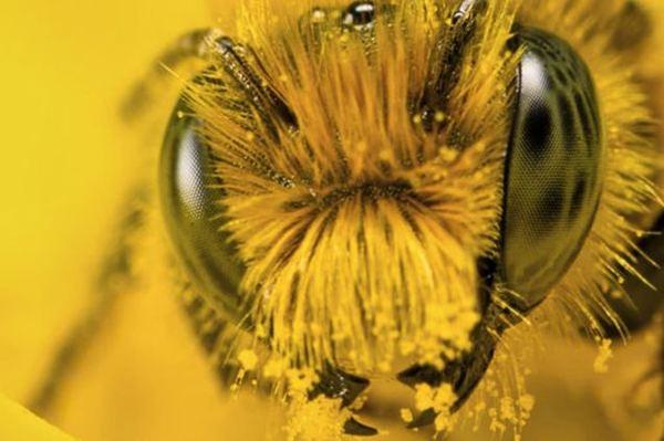 Пчелинная пыльца Молдова купить