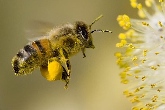 Пчелинная пыльца купить Молдова