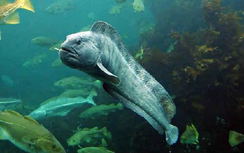Рыба зубатка польза и вред