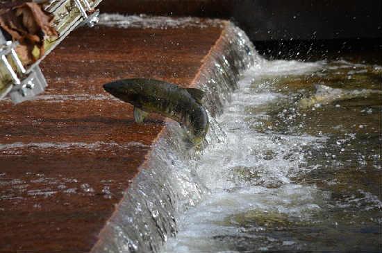 Losos' kakaja jeto ryba2
