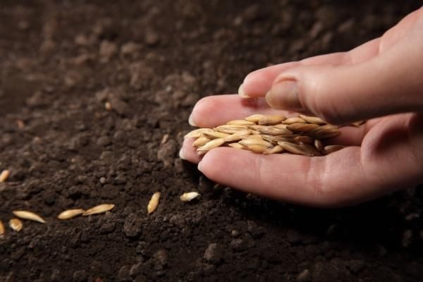 В открытый грунт семена нужно садить, когда на улице становится достаточно тепло