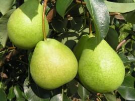 pears/Kudesnitsa.jpg