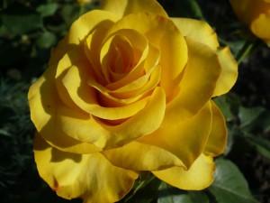 фото розы Керио