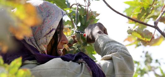 Сбор семян клещевины (Индия)