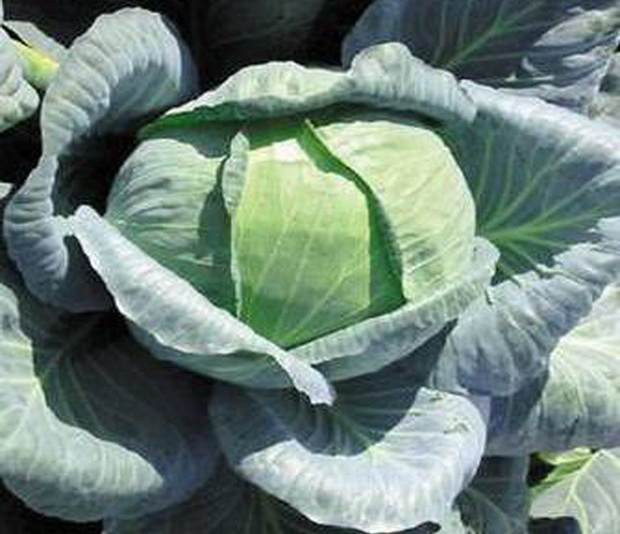Сорт капусты белокочанной: Ларсия   f1