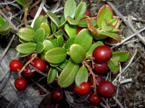Раздел о лекарственных растениях, Брусника (Vaccinium vitisidaea). Листья брусники  содержат дубильные вещества, гликозиды, множество органических кислот, витамин С. Они обладают дезинфицирующим, противовоспалительным, мочегонным, желчегонным и вяжущим действием.