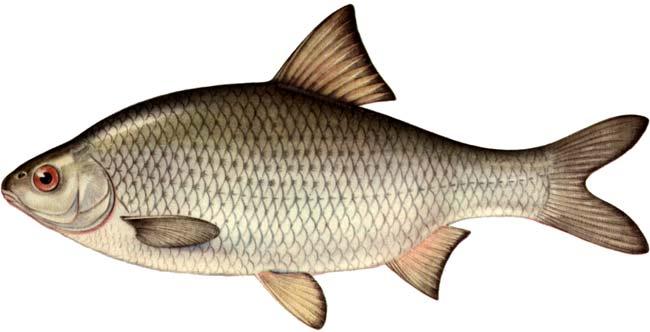 Вобла астраханская Рыбалка и охота в Казахстане