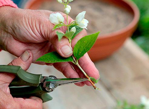 Размножение чубушника
