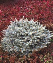 Ель колючая Глаука Глобоза - Picea pungens Glauca Globosa