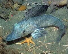 Ледяная рыба - это название всего семейства белокровных рыб