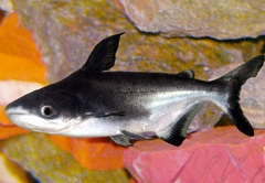 Пангасиус - хищная рыба