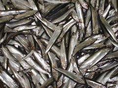 Салака — мелкая промысловая рыба