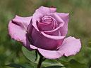 Бутон расцветающей розы Голубой Нил (Blue Nile). _x000D_ Размер: 700x973. _x000D_ Размер файла: 403,56 КБ