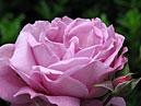 Флорибунда Shocking Blue: цветок и бутон. _x000D_ Размер: 700x525. _x000D_ Размер файла: 387,07 КБ