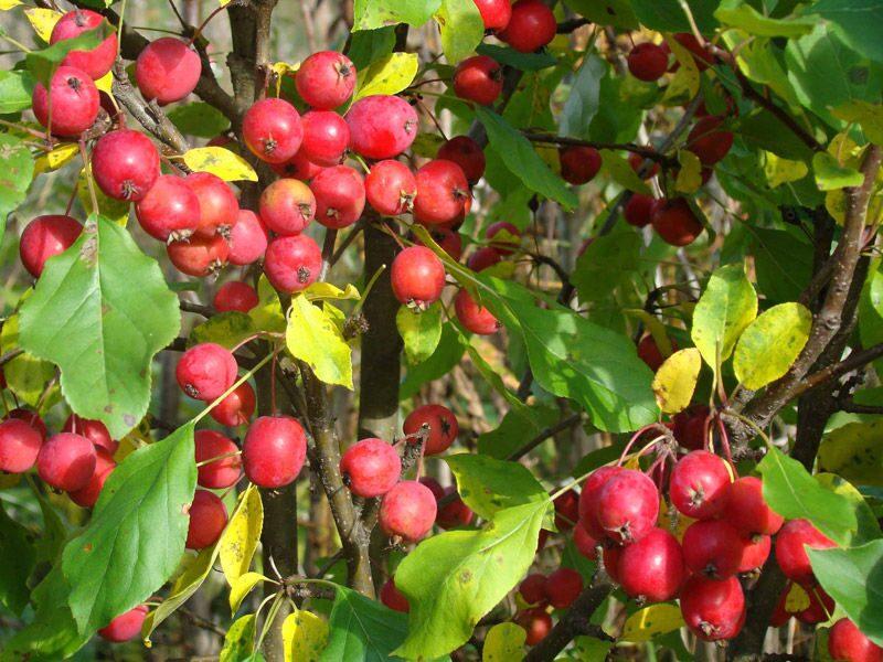 саженец яблони Китайка Долго