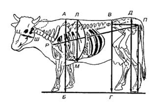 Контур коровы со скелетом, взятие промеров