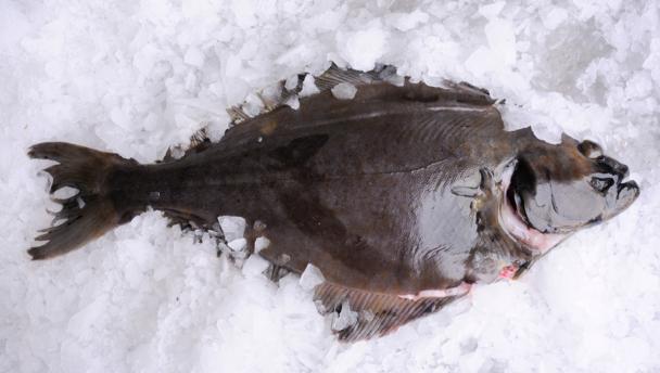 Палтус свежемороженый Фирма Северная рыбка