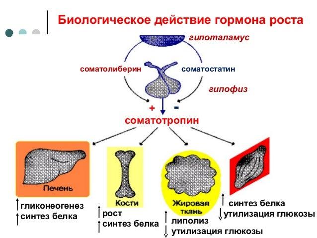 Картинки по запросу гормон роста