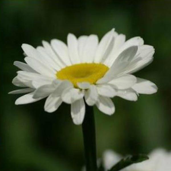 Семена пиретрум