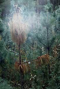 q?u=http%3A%2F%2Fkedr.forest.ru%2Fveget2-1.jpg&s=kuvmbicc&h=B6EbfNYqwDjYqJa2DVKeMQ