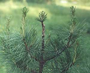 q?u=http%3A%2F%2Fkedr.forest.ru%2Fveget5.jpg&s=feamgedk&h=b1NkAP2sna0xMEnsU38MGA