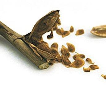 семена цветов гладиолусы