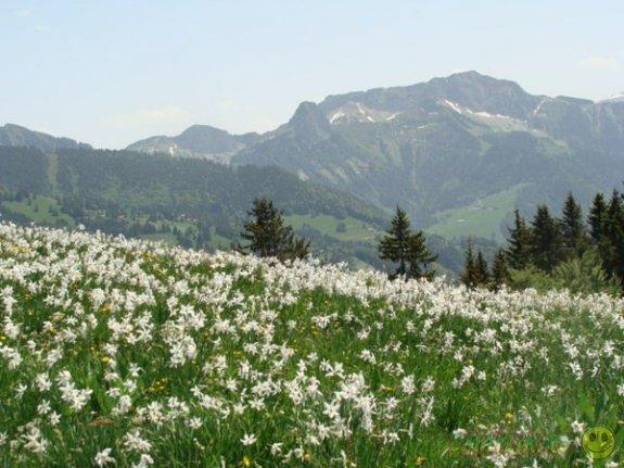 Лучистый нежно белый нарцисс в долине Закарпатья