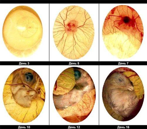 Схема развития зародыша цыпленка