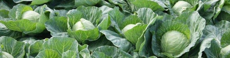 Установлено, что капуста помогает снизить риск фиброзно-кистозных заболеваний молочной железы