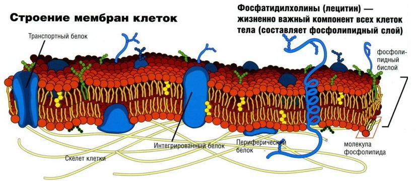 Строение мембран клеток