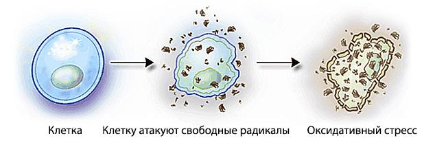 Как свободные радикалы атакуют клетку NSP Молдова