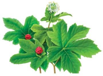 Гидрастис - хороший растительный антибиотик